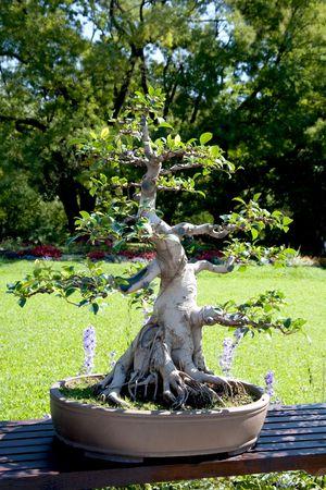 A bonsai tree at a botanical gardens