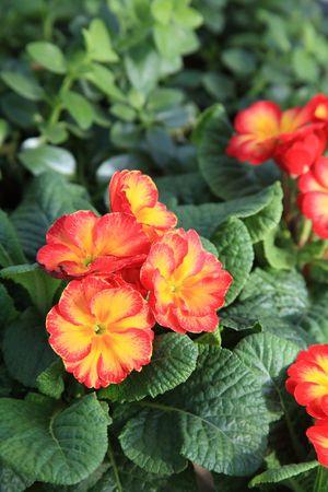 Flower primrose