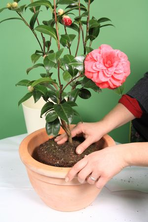 Planting camellia in apartment