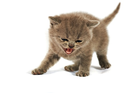 miaul: Close up kitten british shorthair on the white background Stock Photo