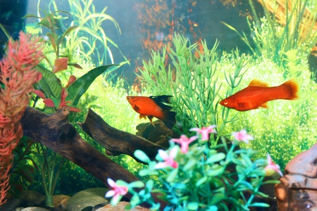 tank fish: Close up pet fish in domestic aquarium