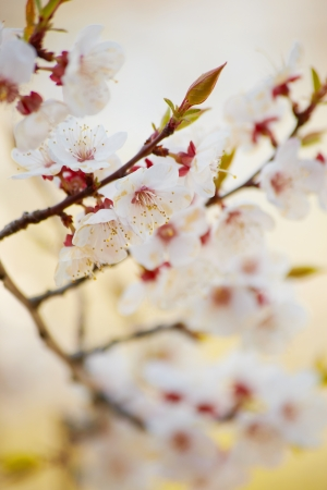 blomming: Spring. Close up apricot brunch with blomming flowers Stock Photo