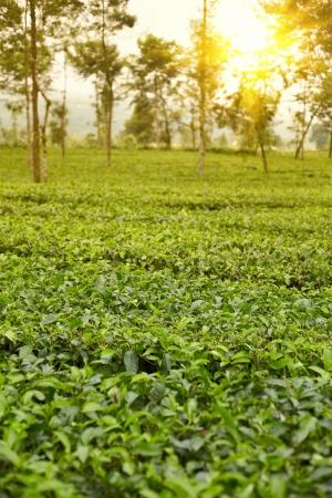 Tea plantation on Indonesia Sindoro mountain district