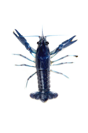 Blue live crawfish on the white  photo