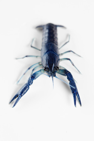 Blue live crawfish on the white background photo