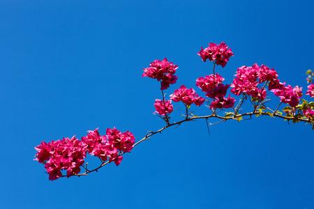 sky brunch: Pink blossoming brunch  against blue sky