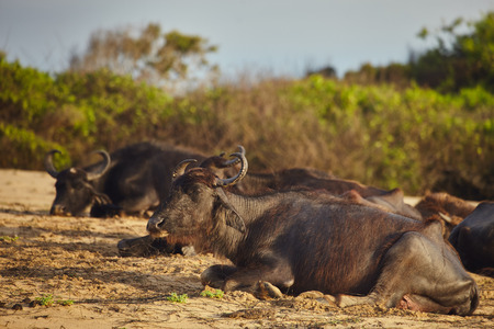 Wild buffalo pride resting on the sand under morningg sunlight. Sri Lanka Yala national park Stock Photo