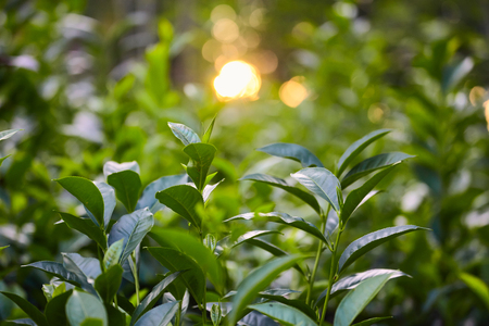 Close up tea plantation leaf and fuzy sunlight at the background Stock Photo