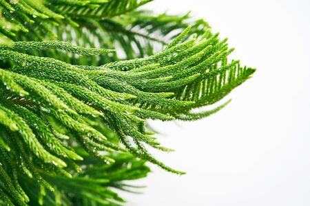 Close up evergreen tree brunch against white background with raining drops 版權商用圖片 - 128225152