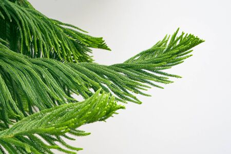 Close up evergreen tree brunch against white background with raining drops                             版權商用圖片