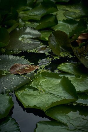 Close up view at the pond surface with water lily leaves