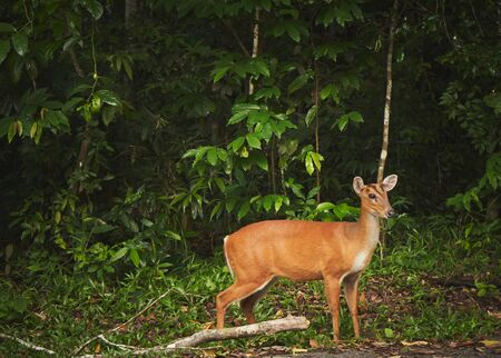 Young wild forest anial deer stay at the age of the forest 版權商用圖片 - 128572783