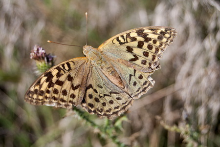 Silver-washed Fritillary (Argynnis paphia) on a flower thistle in the Special Nature Reserve Deliblato Sands. Stock Photo