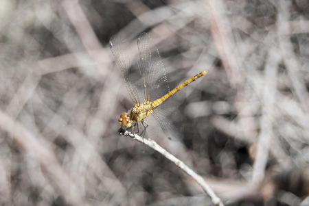 View of a beautiful yellow dragonfly on top of branch. Stock Photo