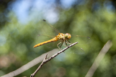 View of a beautiful yellow dragonfly on top of branches with parasites on the wings.