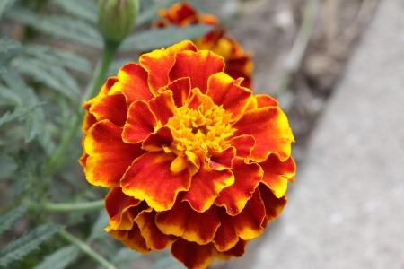 tagetes: flower tagetes