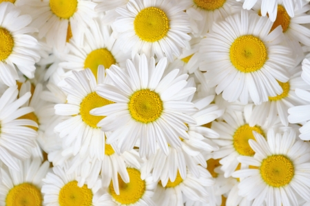 Bunch blossomed large field of daisies in the background Stock Photo