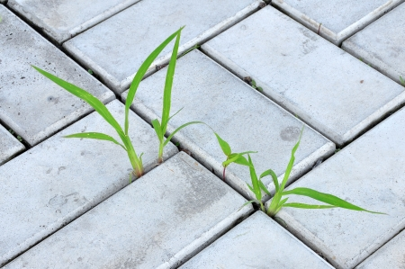 Blades of grass sprouted through the paving slabs