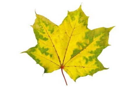 Autumn yellow maple leaf on a white background Stock Photo
