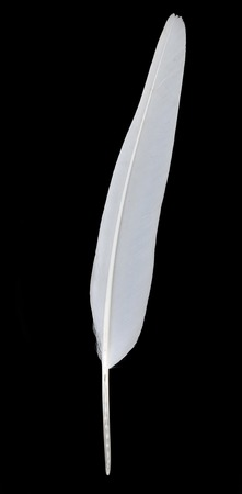 White flight feather of a dove on black background Stock Photo