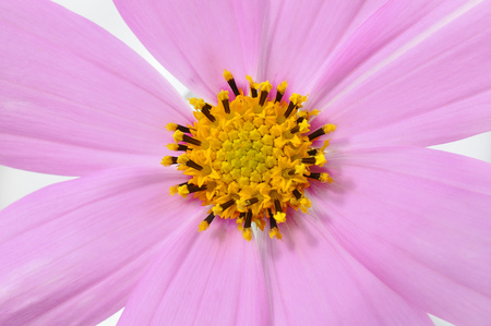 Closeup fragment of a flower with pink petals and yellow stamens Stock Photo