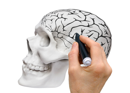 Hand with a black marker makes a schematic sketch of the brain on the layout of the human skull Stock Photo
