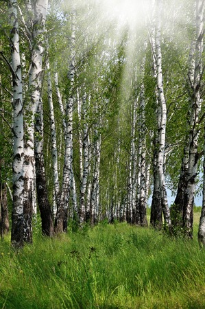 Birch grove overgrown with wild grass at summer sunny day
