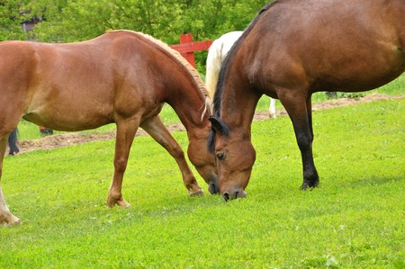 Two brown horses are nibbling grass in a meadow on a summer day