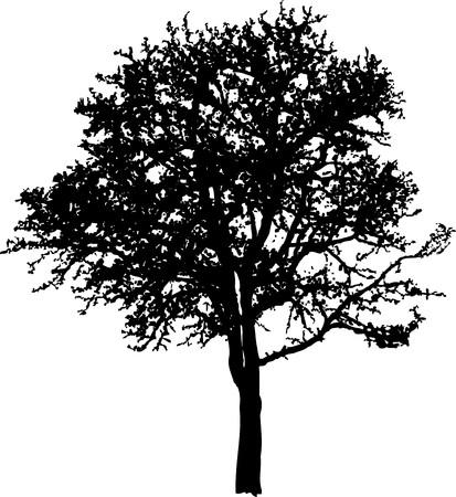 deciduous tree: �rbol de hoja caduca Vectores