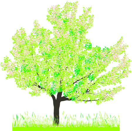 four season: Vector illustration of cherry tree in spring