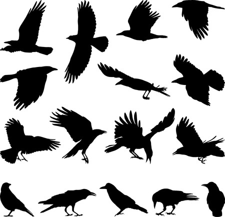 flock: black isolated silhouettes of carrion crow on the white background