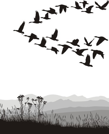 migrating animal: Black and white illustration of the flying geese Illustration