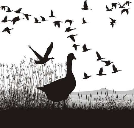 waterfowl: Illustration of wild geese, which are about to migrate