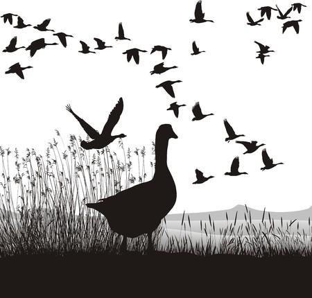 gęsi: Ilustracja dzikich gÄ™si, które sÄ… okoÅ'o do zmigrowania  Ilustracja