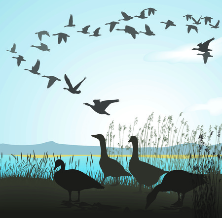 waterfowl: illustration of wild geese to lake shore Illustration