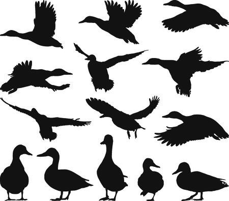pato real: Colecci�n de siluetas de �nade real sobre fondo blanco