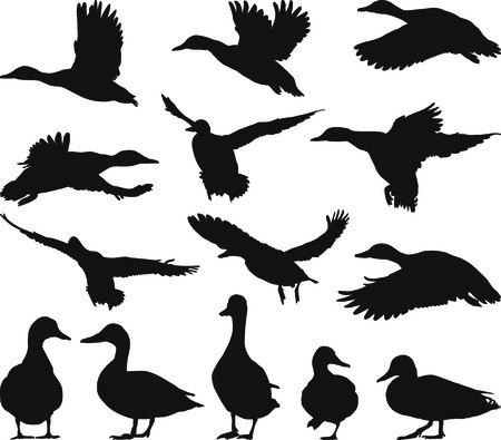 birds silhouette: Collection of mallard silhouettes on white background
