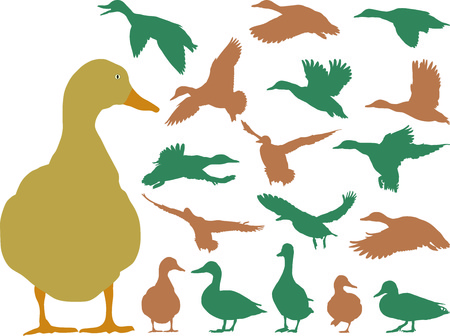 Collection of mallard silhouettes on white background  Vector