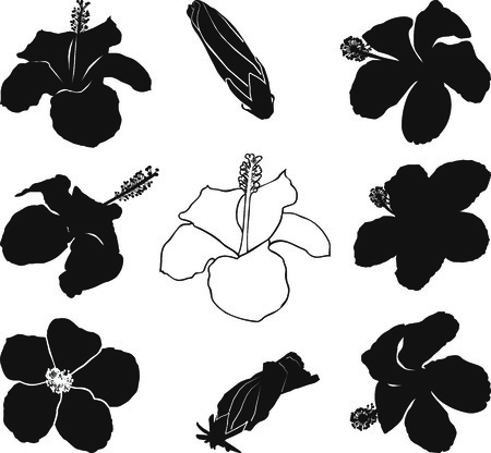 Illustration hibiscus flowers on a white background Vector