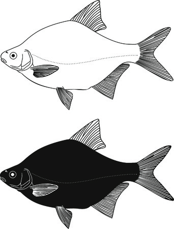 Black and white illustration Freshwater fish - bream Vector
