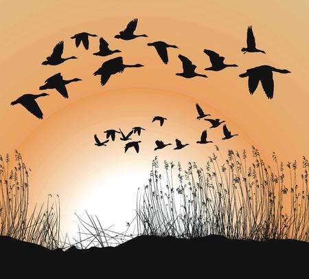 거위: Reeds and Geese on white Background, Isolated vector