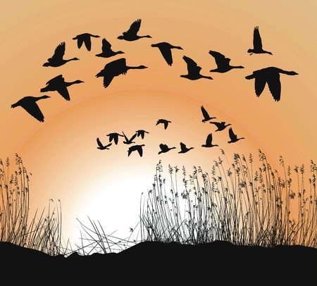 waterfowl: Reeds and Geese on white Background, Isolated vector