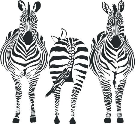 z�bres:  Illustration de trois z�bres, front de deux, un arri�re
