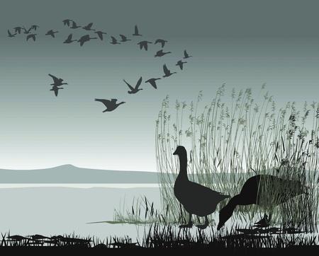 bandada pajaros: Ilustración de los gansos salvajes en un lago congelado Vectores