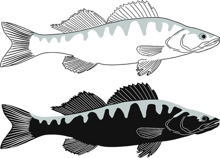 Zander illustration of freshwater fish Stock Vector - 11209139