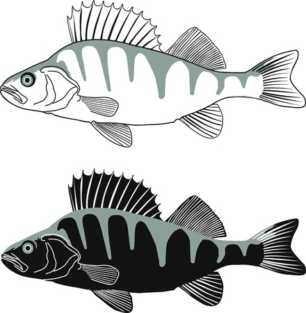 catch of fish: Black and white illustration Perch, isolated vector Illustration