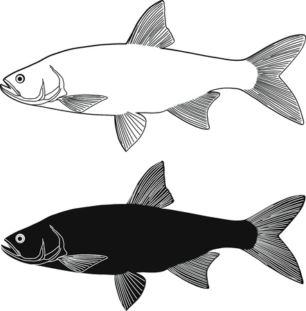 freshwater fish: vector illustration black and white freshwater fish