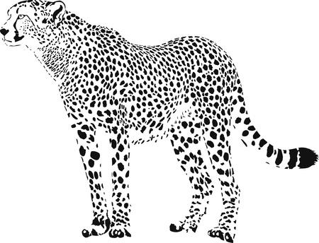 carnivoros: vector de blanco y negro guepardo ilustraci�n estacionaria Vectores