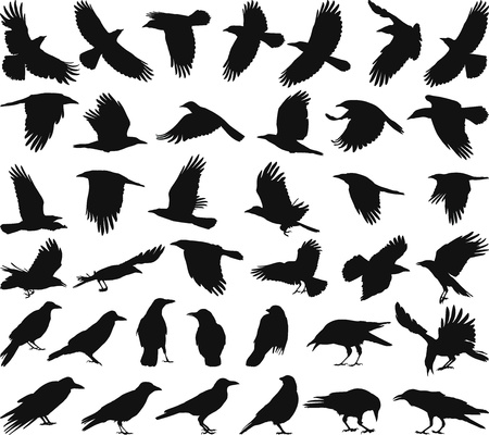 crow: black isolated vector silhouettes of carrion crow on the white background
