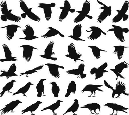 cuervo: vectores de siluetas negras aisladas de la corneja en el fondo blanco